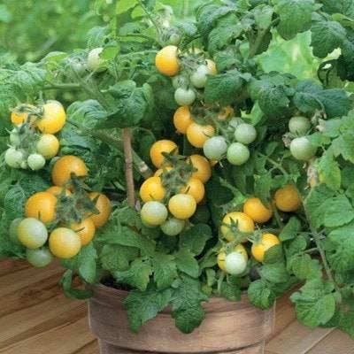 Маленькое солнышко на подоконнике — выращивание томата «оранжевая» и «желтая шапочка»