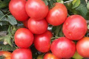 """Обзор сорта томата """"райское наслаждение"""" и его отличительных особенностей"""