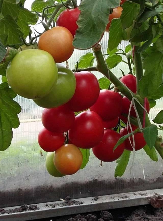 Выращивание томата любаша