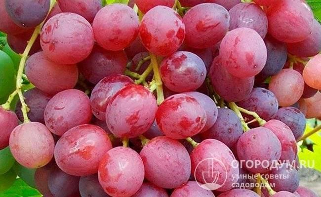 Описание испанского сорта винограда гарнача и характеристики выращивания и ухода