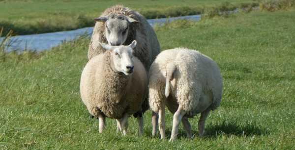 Как и чем кормить овец в домашних условиях?