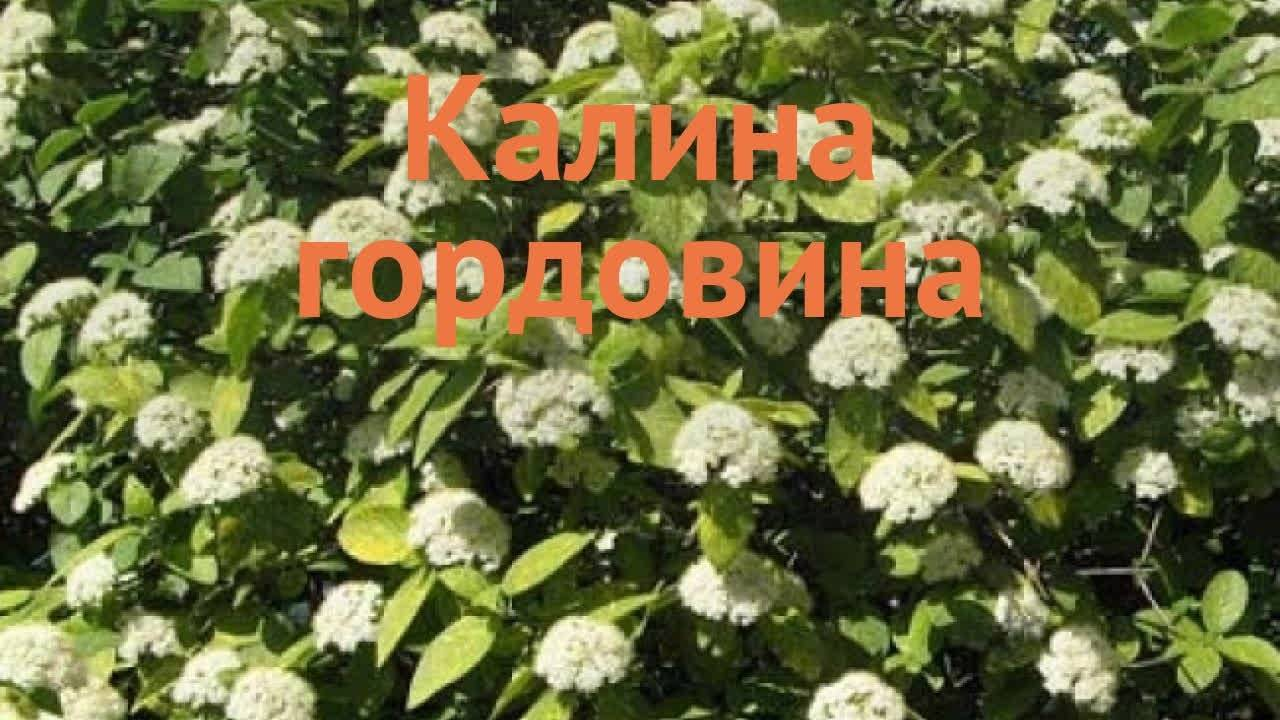 Особенности посадки и выращивания на даче калины сорта гордовина