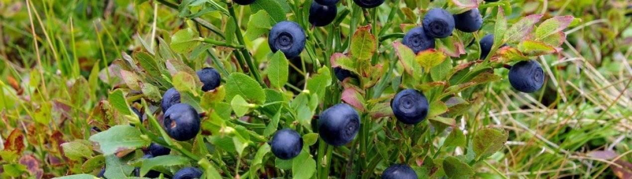 Черника — посадка и уход по новой технологии обеспечат 100% укореняемость и раннее плодоношение