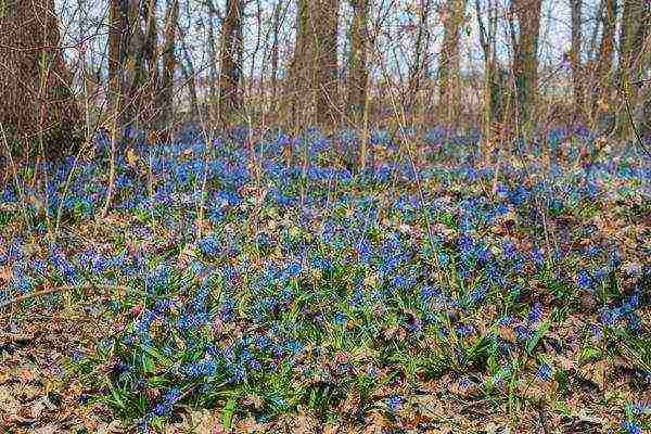 Сцилла, цветок комнатный – посадка и уход