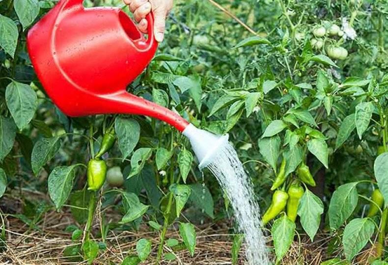 Правила полива перца в теплице и открытом грунте