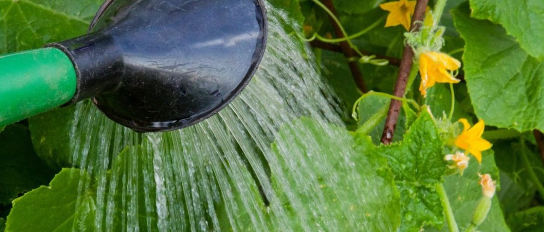 Правила: как поливать огурцы в теплице