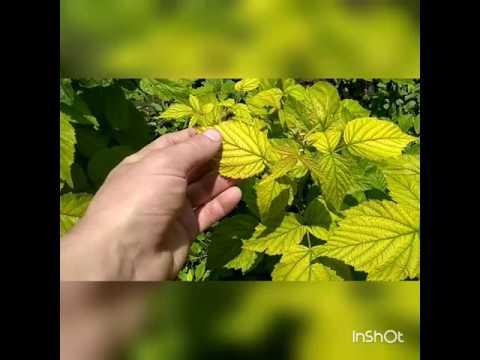 Почему желтеют листья у малины и что с этим делать