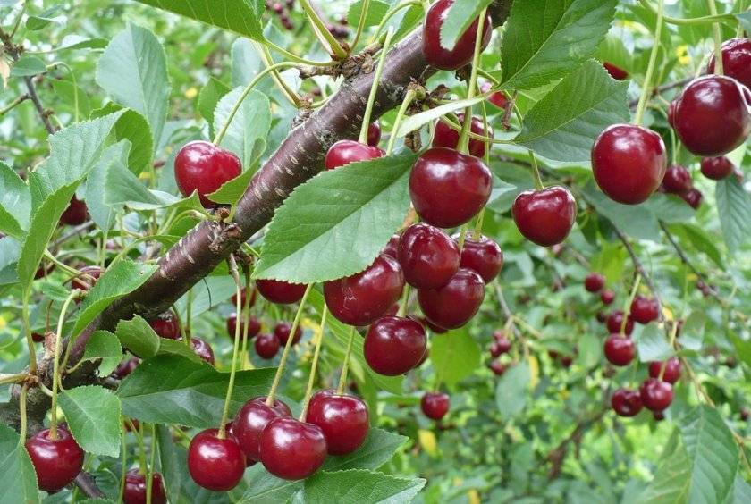 Описание и характеристики сортов колоновидной вишни, посадка и уход