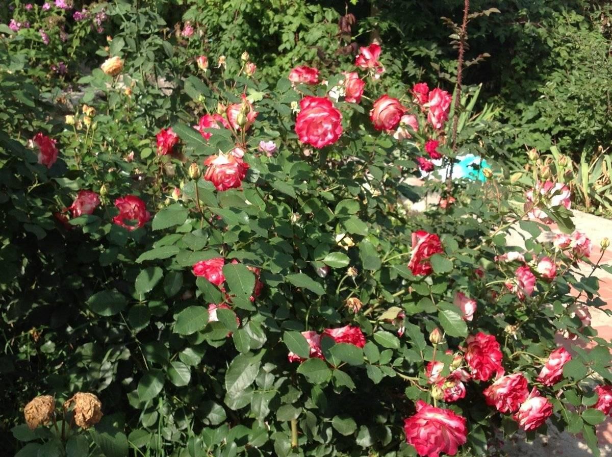 Роза «юбилей принц де монако» — описание, фото, посадка, уход