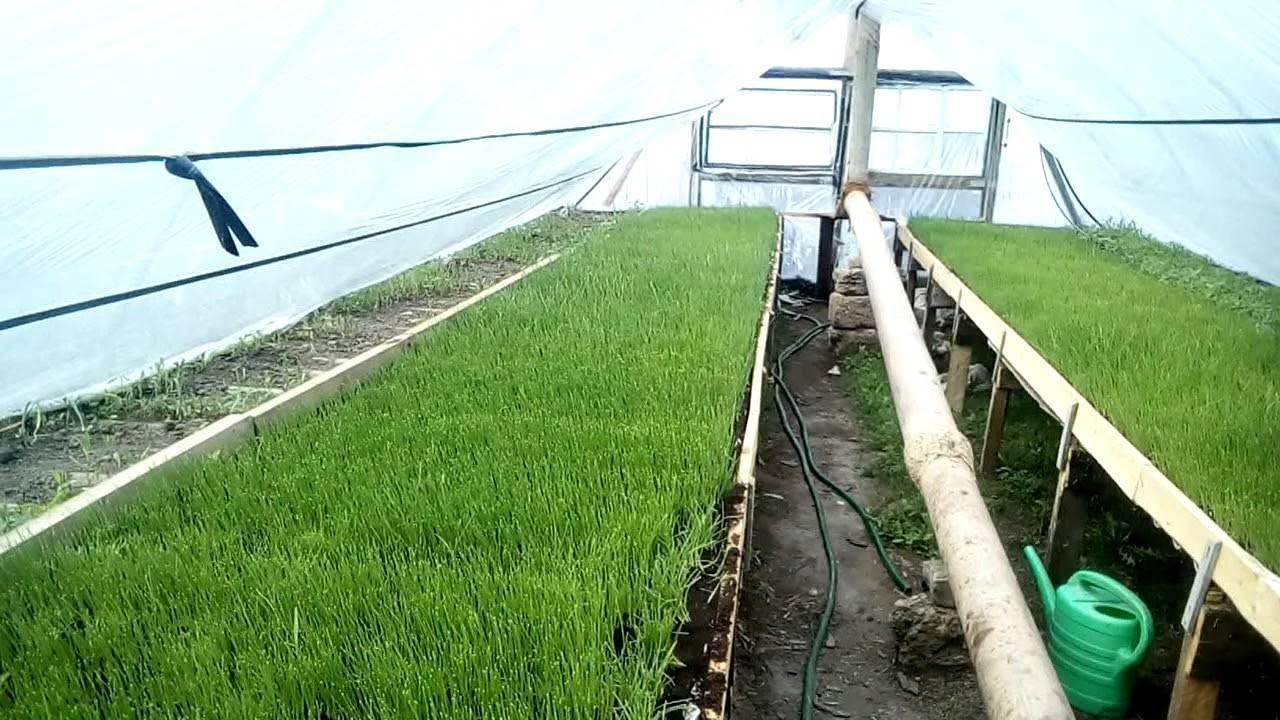 Белый лук: свойства, сорта и выращивание. отличие белого лука от обычного, особенности выращивания и хранения
