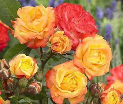 Почвопокровные розы: лучшие сорта, особенности посадки, выращивание и рекомендации по уходу