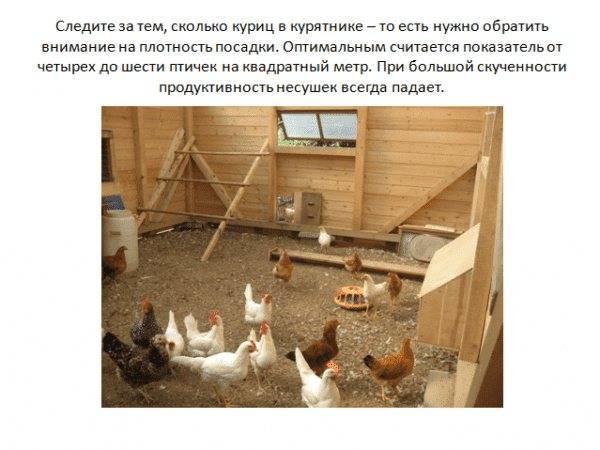 Сколько яиц несет курица в год, месяц, сутки?