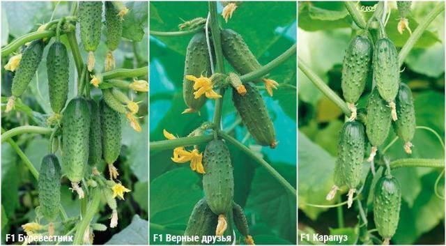 Огурцы «верные друзья f1»: посадка, выращивание и уход
