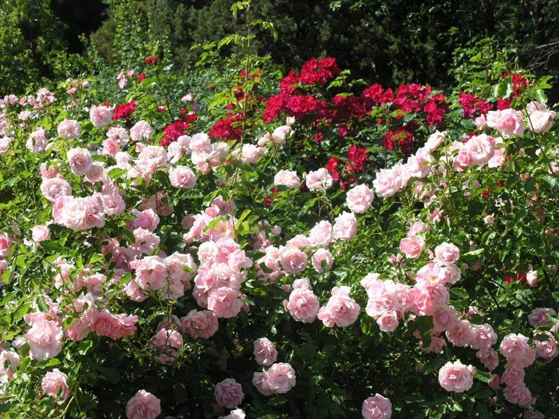 Обильноцветущая роза флорибунда: что это такое и как выращивать растение с эффектными бутонами и волнообразным цветением