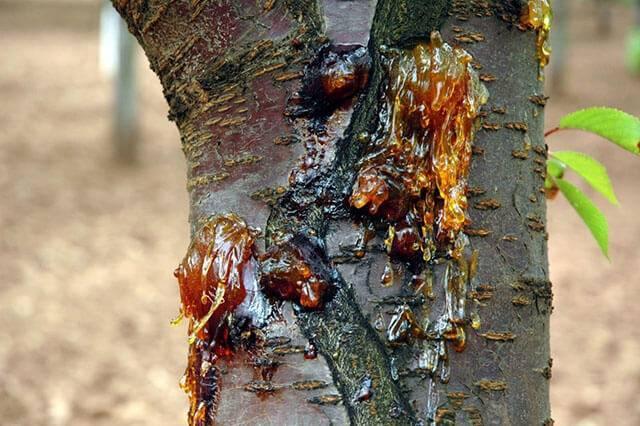 Болезни персика – ставим диагноз и назначаем лечение ароматным фруктам
