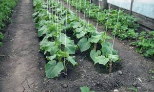 Посадка и выращивание ранних огурцов в теплице, уход за огурцами