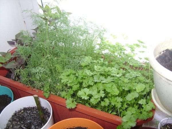 Как посадить укроп в домашних условиях зимой