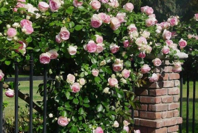 Осенняя обрезка роз — назначение и особенности процедуры