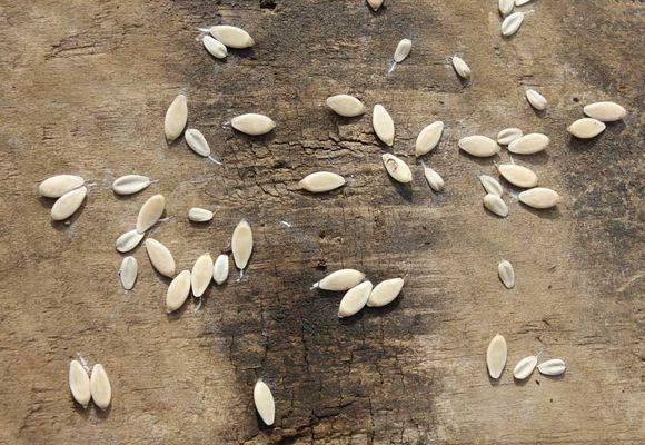 Все секреты подготовки семян огурцов к посеву на рассаду: как отсортировать и отбраковать, особенности обеззараживания, проращивания и закалки