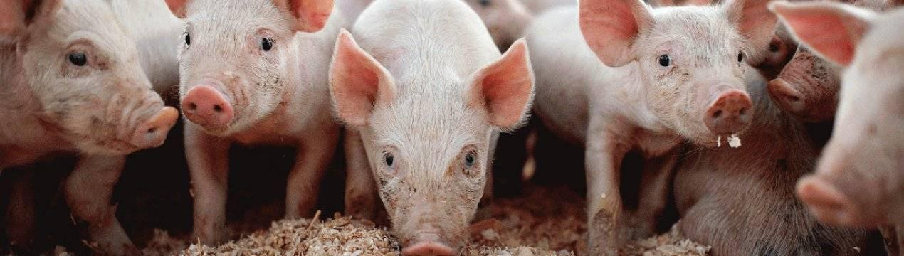 Комбикорм для свиней: виды, состав и рецепты изготовления