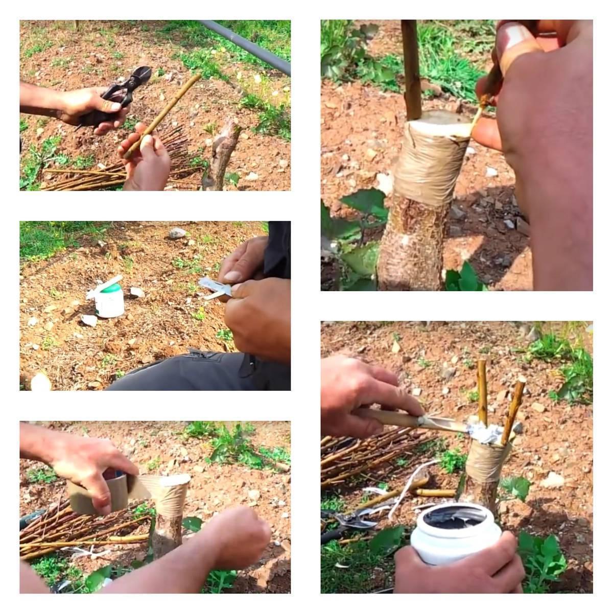 Как правильно прививать персики в весенний период