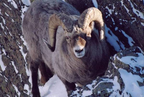 Среда обитания снежного барана