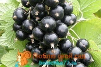 Сорта черной смородины: описание, характеристика, фото