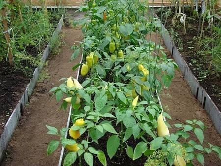 Секреты посадки и выращивания перца в грунте, теплице и дома