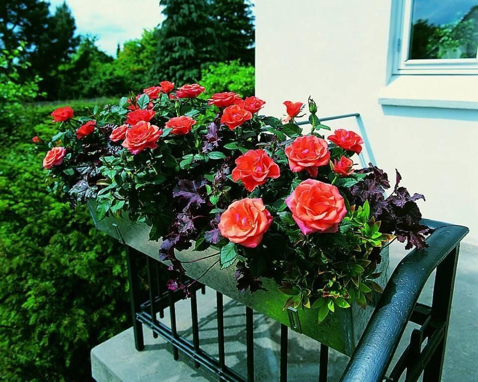 Как избавиться от мучнистой росы на розах