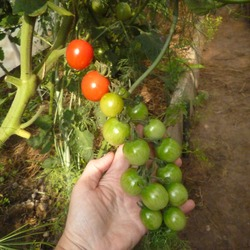 Томат дюймовочка — описание сорта, фото, урожайность и отзывы садоводов