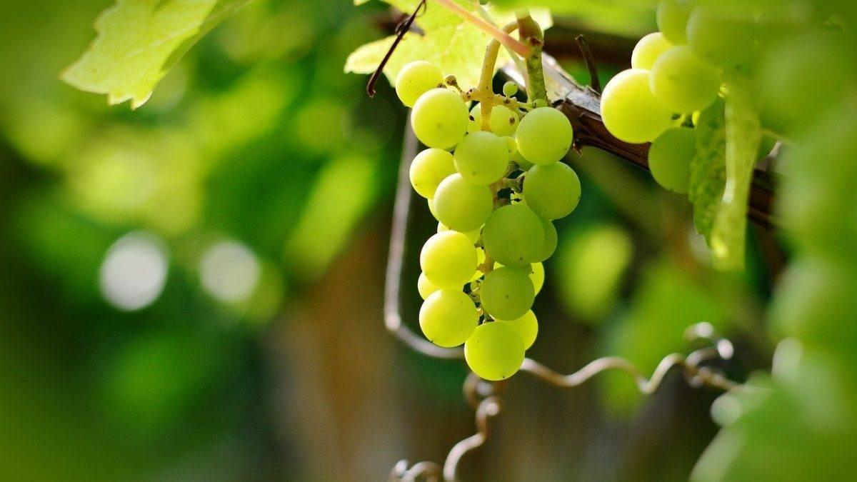 Столовый виноград сорта кеша: описание, нюансы посадки и ухода