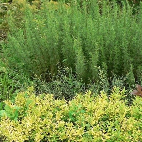 Укропное дерево: описание, выращивание и уход с фото