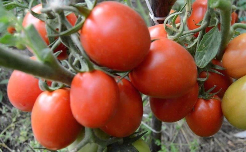 Характеристика и описание сорта томата Артист f1, его урожайность