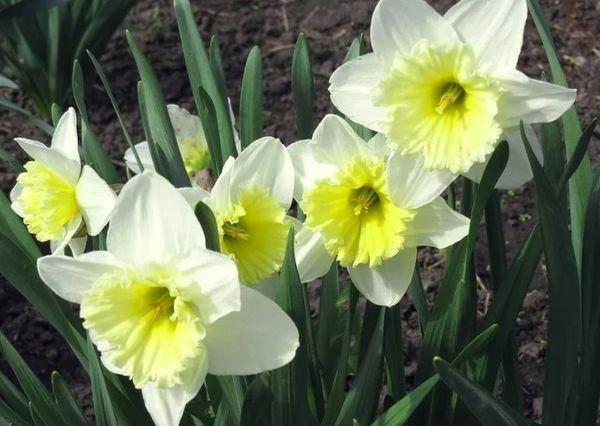 Нарцисс (narcissus). описание, виды и уход за нарциссом