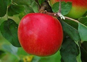 Яблоня ред чиф: описание, посадка и уход