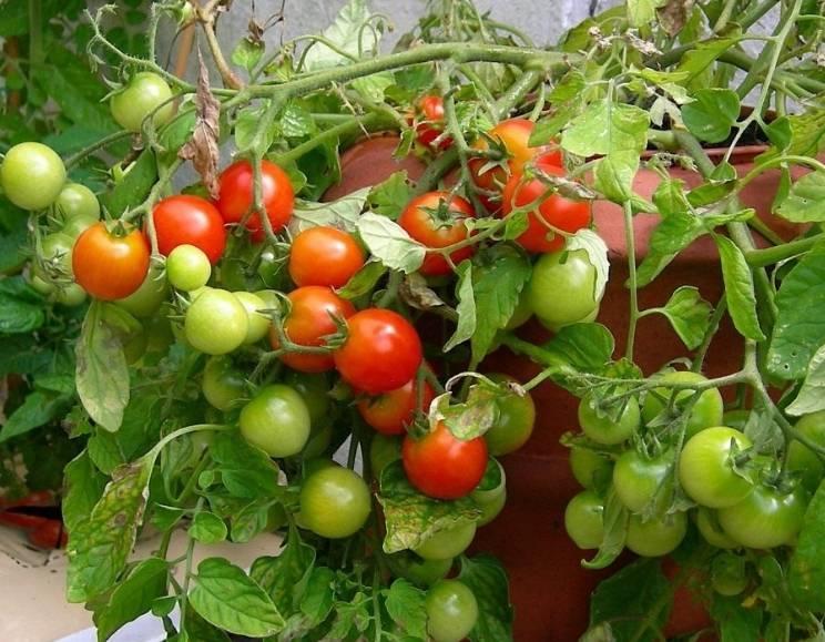 Вкусный помидорчик для любителей плодов с кислинкой — описание гибридного сорта томата «любовь»