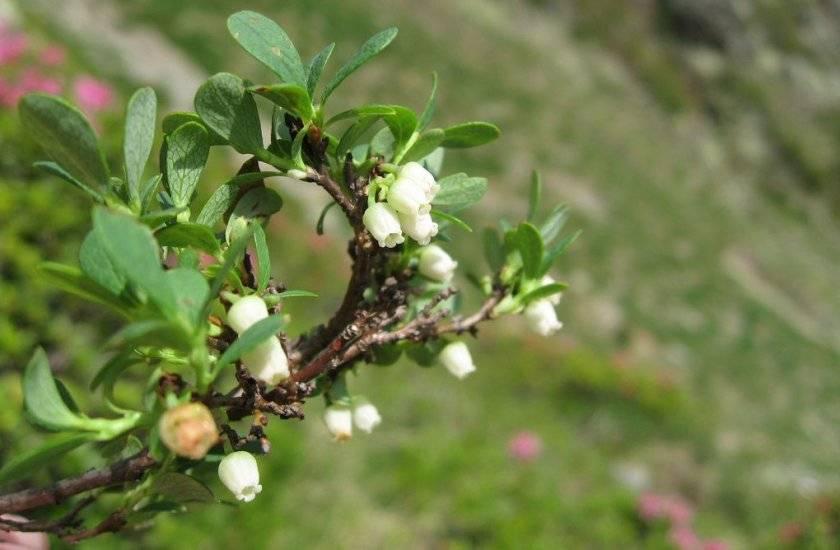 Не цветет клубника: почему так происходит и что делать