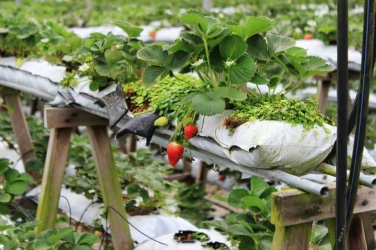 Выращивание клубники в мешках: 4 совета и пошаговая инструкция