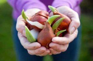 Как размножаются тюльпаны в природе и на дачном участке?