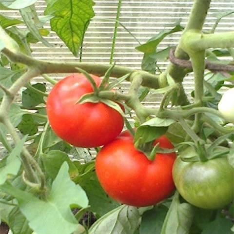 Томат пурпурная свеча: описание и характеристика сорта, урожайность с фото