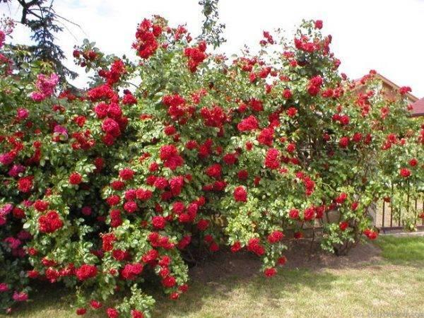 Роза саммер сонг (summer song) — описание и характеристики сорта