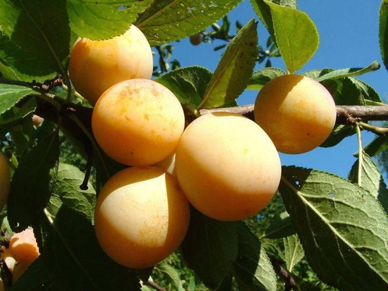 Особенности выращивания лучших сортов колоновидной сливы
