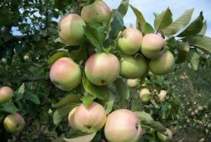 Чем яблоня приземленное отличается от других сортов