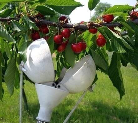 Самодельные приспособления для сбора вишни с высоких деревьев. сбор вишни: когда и как собирать плоды? крючки для подтягивания веток