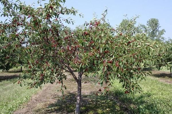Почему вишня не дает плодов: наиболее частые причины