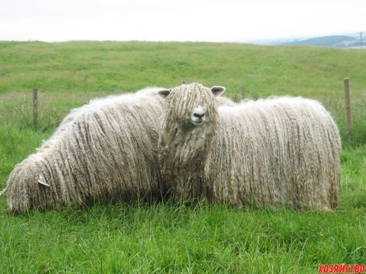 Описание и характеристика калмыцкой породы овец, правила содержания