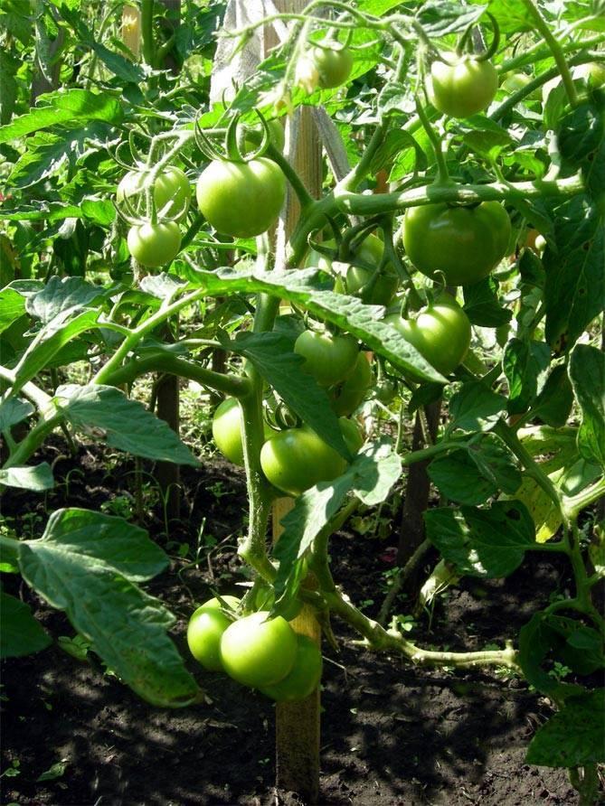 Описание томата любаша f1 и его особенности выращивания