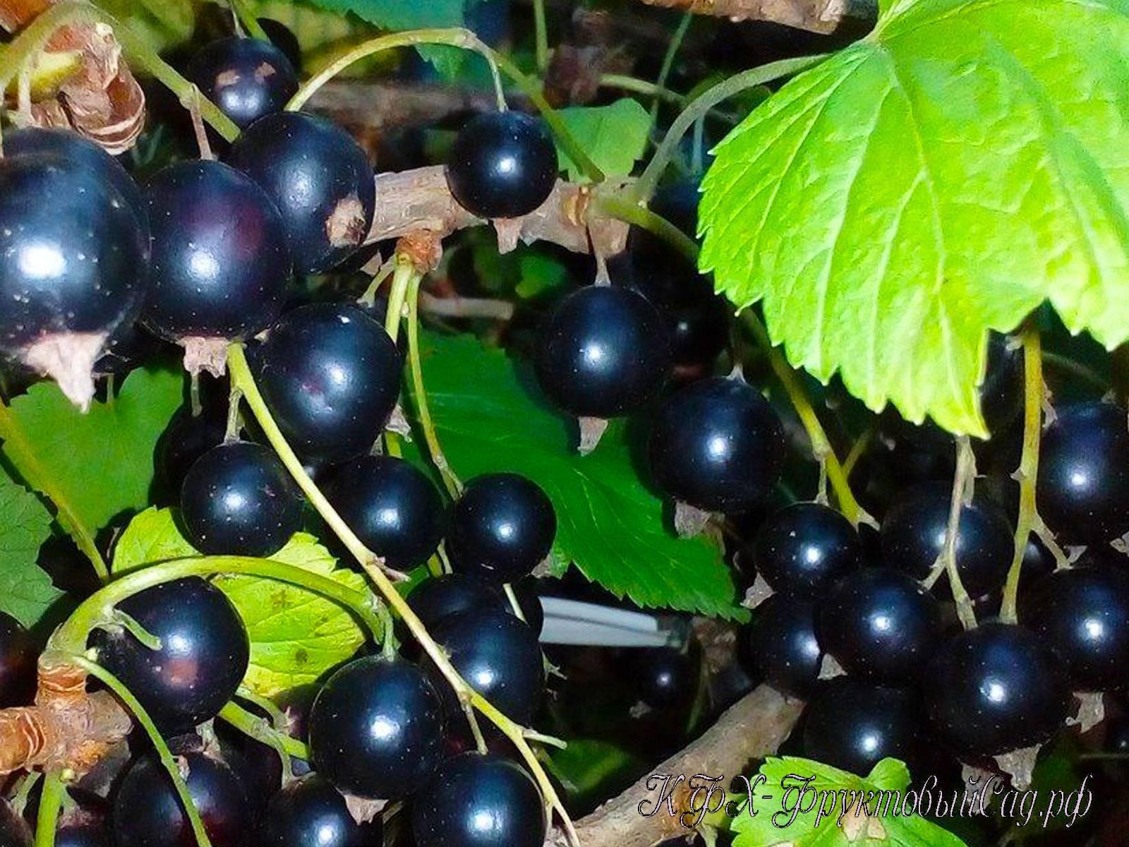 Черная смородина перун - зимостойкий сорт
