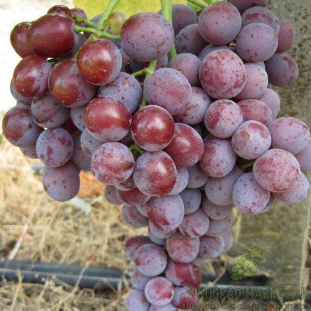 Описание и характеристика винограда сорта сенатор