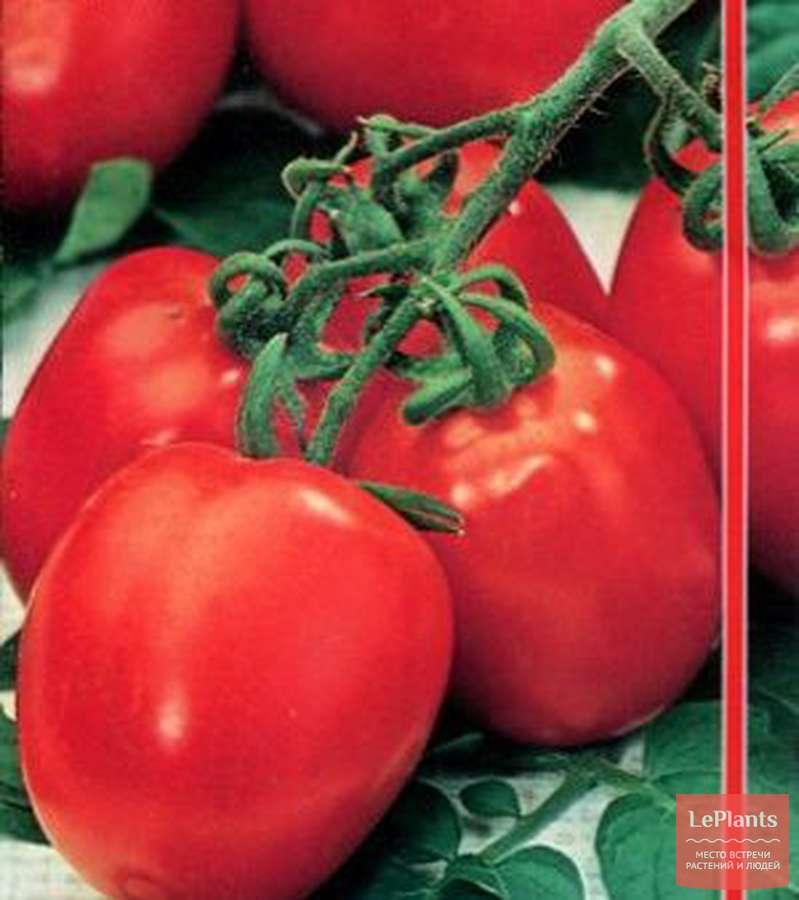 Какие томаты выращивают на урале